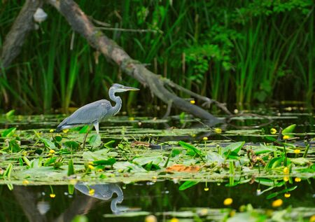 Gray heron (Ardea cinerea) wading in the shallow water of the lake, looking for fish.Poland in summer.Horizontal view.