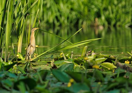 Little bittern (Ixobtychus minutus) sits on the leaves of water lilies on the edge of reed. Summer in Poland.Horizontal view.