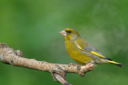 Greenfinch (Cardeulis chloris) sitting on a dry branch. Close, horizontal view.Spring in Poland Stok Fotoğraf