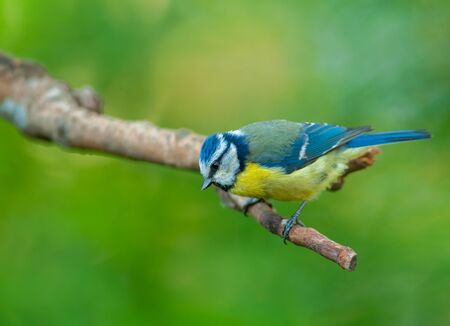Blue tit (Parus caeruleus) sits on a branch and looks down. Horizon view.Poland in spring. Stok Fotoğraf