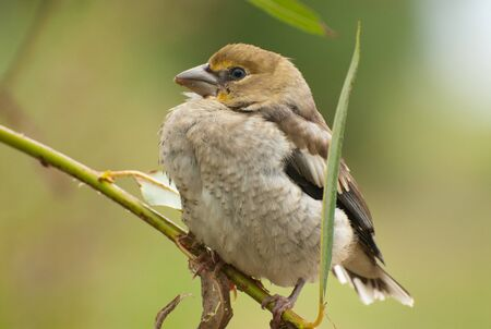 Hawfinch chick (Coccothraustes coccothraustes) sits among the leaves waiting for parents.Close, horizontal view.Poland in early summer. Stok Fotoğraf