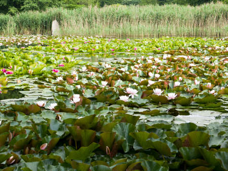 Pond with the white and pink flowers of the European water lily (Nymphaea alba, known also as the white water rose or white nenuphar)