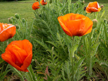 Papaver rhoeas - red field flowers also known commonly as common poppy