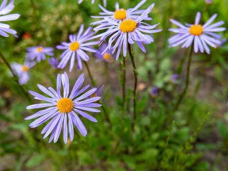 Aster Tongolensis (Asteraceae family) - violet blue color flower known also as East Indies Aster in the garden