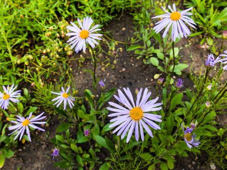 Aster Tongolensis (Asteraceae family) - violet blue color flower known also as East Indies Aster