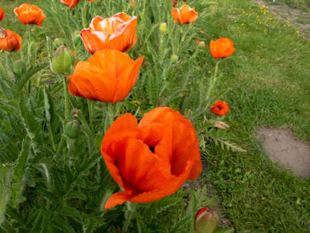 Papaver rhoeas - red field flowers known commonly as common poppy 版權商用圖片