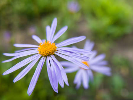 Aster Tongolensis (Asteraceae family) - violet blue color flower known also as East Indies Aster close-up view