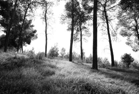 black and white forest: abstract black and white trees in forest landscape