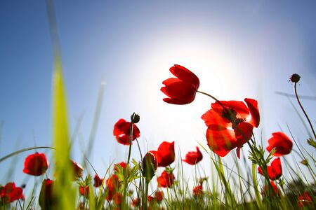 prespective: low angle photo of red poppies against sky with light burst. Stock Photo