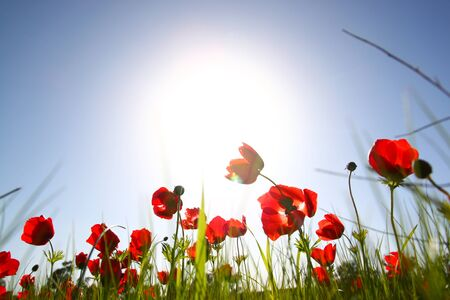 unusual angle: low angle photo of red poppies against sky with light burst. Stock Photo