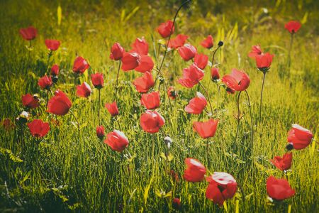 prespective: photo of red poppies field