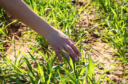 Close up of a woman hand touching grass blades  in field. selective focus. photo