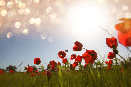 prespective: low angle photo of red poppies against sky with light burst and glitter sparkling lights Stock Photo