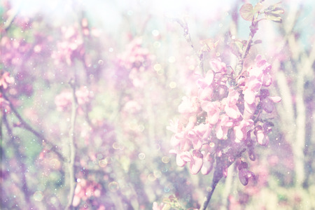 flowers bokeh: double exposure of Spring Cherry blossoms tree. abstract background. dreamy concept Stock Photo