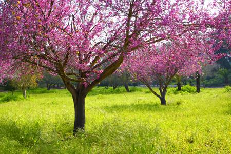 flor de cerezo: imagen de la primavera de cerezo en flor. retro imagen filtrada, enfoque selectivo