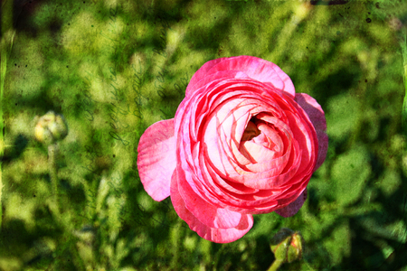 close up photo of pink flower . texured photo photo
