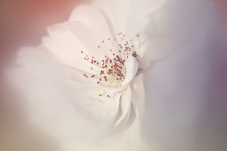 white rose: dreamy and blurred image of white rose. vintage filtered and toned Stock Photo