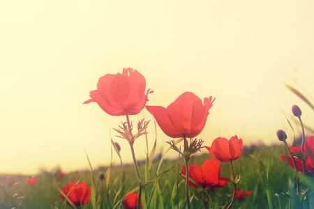 prespective: low angle photo of red poppies against sky with light burst. vintage filtered and toned