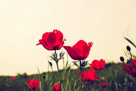 low angle photo of red poppies against sky with light burst. vintage filtered and toned