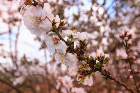 cherry blossoms: image of spring white cherry blossoms tree. selective focus. vintage filtered