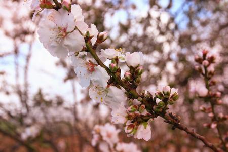 cerezos en flor: imagen de la primavera flores de cerezo blanco árbol. atención selectiva. vendimia filtrada