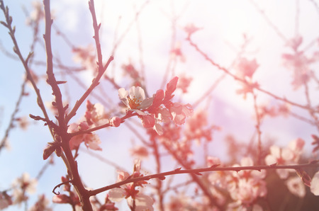backdrops: dreamy and blurred image of spring white cherry blossoms tree. selective focus. vintage filtered Stock Photo