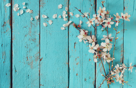 image of spring white cherry blossoms tree on blue wooden table. vintage filtered image
