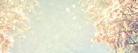 fleur de cerisier: R�sum� floue site banni�re fond de printemps blanc fleurs de cerisier arbre. mise au point s�lective. cru filtr� Banque d'images