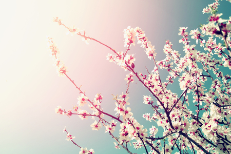 budding: abstract dreamy and blurred image of spring white cherry blossoms tree. selective focus. vintage filtered