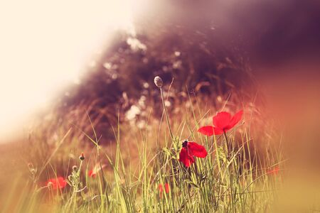 abstract and dreamy photo with low angle of red poppies against sky with light burst. vintage filtered and toned with glitter overlay