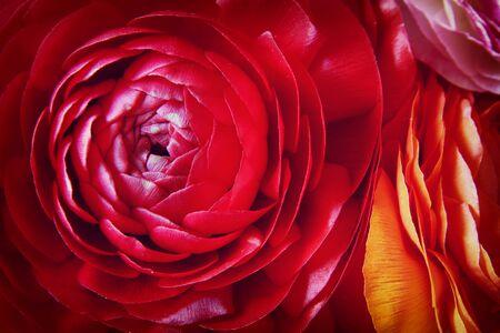 Nahaufnahme von roten Frühlingsblumen. Draufsicht Foto.