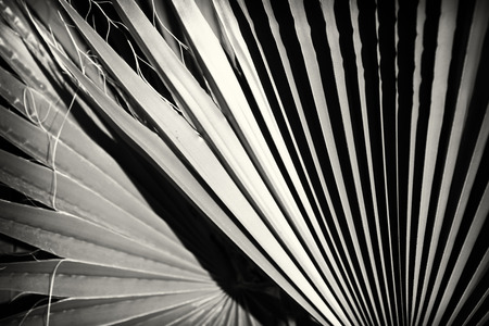 black tree: Close up of palm leaf detail. black and white photo. Stock Photo