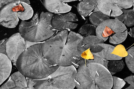 white color: top view image of fall leafs at pond , selective color.
