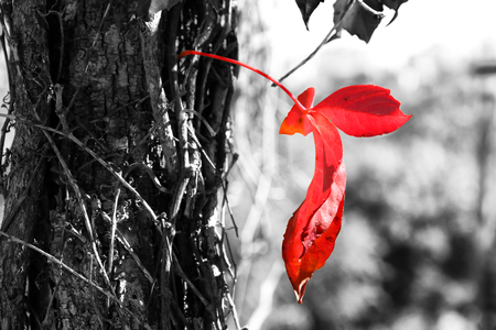 close up image of red autum leaf and tree trunk. selective color Zdjęcie Seryjne