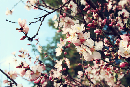 background of spring white cherry blossoms tree. selective focus. vintage filtered