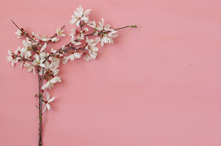 image of spring white cherry blossoms tree on pink wooden background Stock Photo
