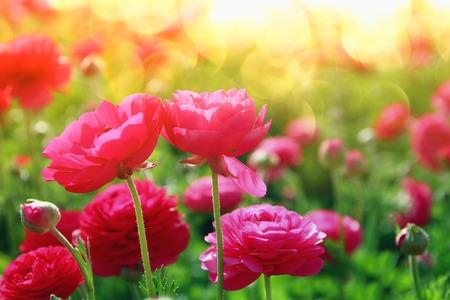Bild der schönen rosa Frühlingsblumen. Standard-Bild - 75932653
