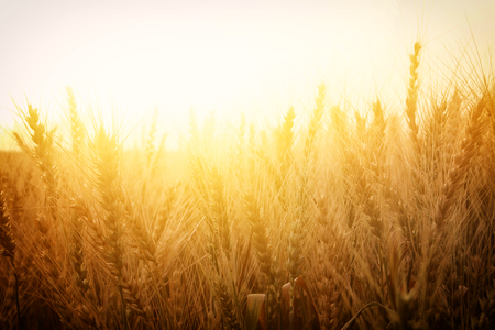 photo of wheat field at sunset.