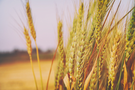 close up photo of wheat field.