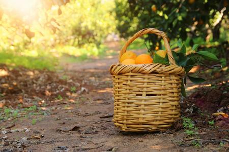 Mand met sinaasappelen in de citrusplantage