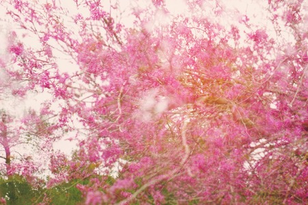 double exposure, abstract dreamy and blurred image of spring pink cherry blossoms tree. selective focus. vintage filtered