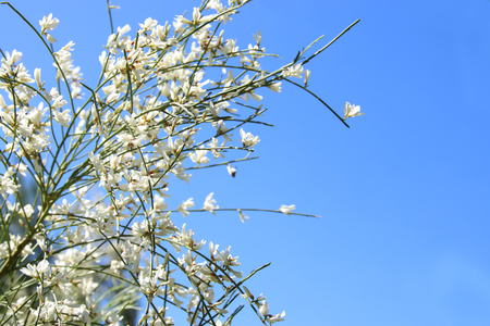 Image of beautiful white flowers and blue sky