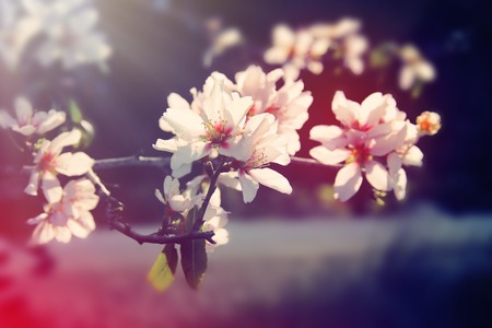 background of spring white cherry blossoms tree. selective focus Stock Photo