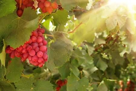 Vineyard landscape with ripe grapes at sunlight Stock Photo