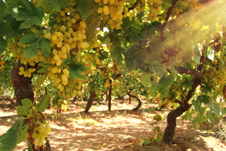 Vineyard landscape with ripe grapes at sun light