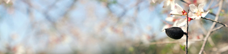 background of spring almond blossoms tree. selective focus
