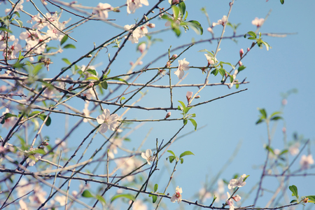 background of spring cherry blossoms tree and beautiful butterfly collects nectar from the flower. selective focus