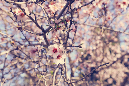 background of spring cherry blossoms tree. selective focus