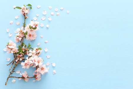 photo of spring white cherry blossom tree on blue wooden background. View from above, flat lay