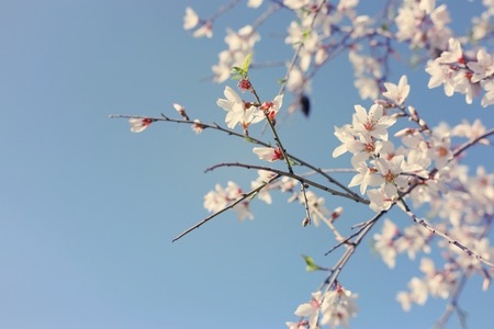 background of spring almond blossoms tree. selective focus.